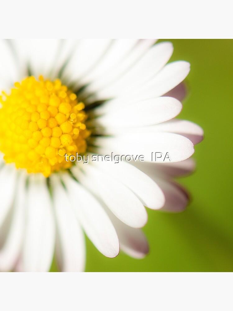 Spring Daisy by tobysnelgrove