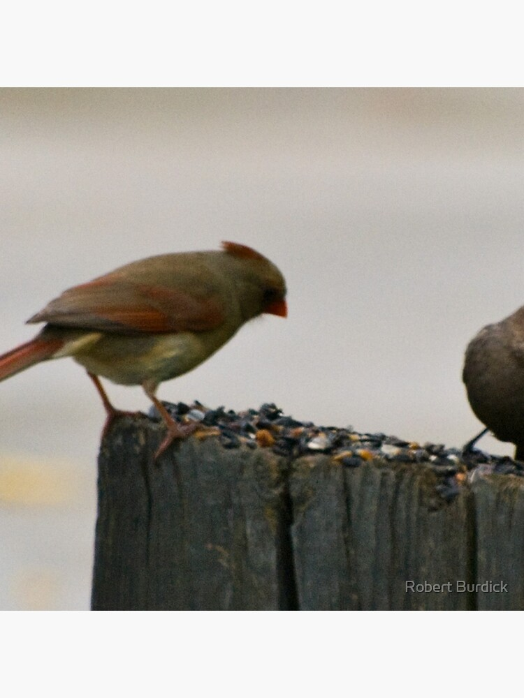 Female Cardinal and gray bunting von DeeTwoXcess