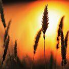 Blazing Summer Grass by 1randomredhead