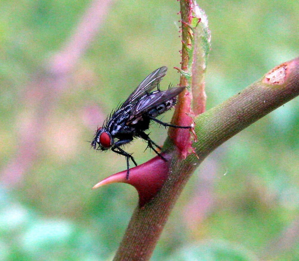 Fly on Rose Thorn  by Caroline Anderson