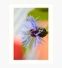Blossom of a Cornflower Art Print