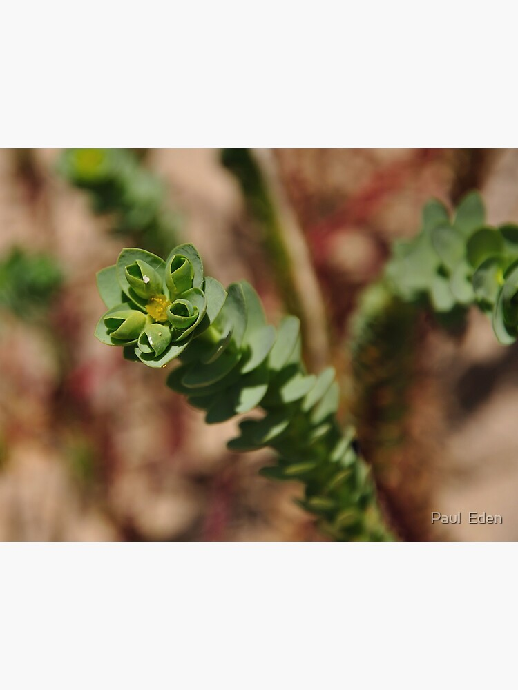 Sea Spurge by pauleden