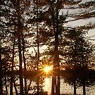 Sun Burst Pine by JimSanders