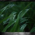Macro Raindrops on Leaves by amaniacadored