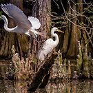 Große weiße Reiher des Sumpfes von TJ Baccari Photography