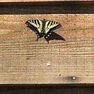 Oregon's Swallowtail Butterfly by Dave Sandersfeld