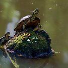 Schildkröten spielen Folgen Sie dem Führer von TJ Baccari Photography