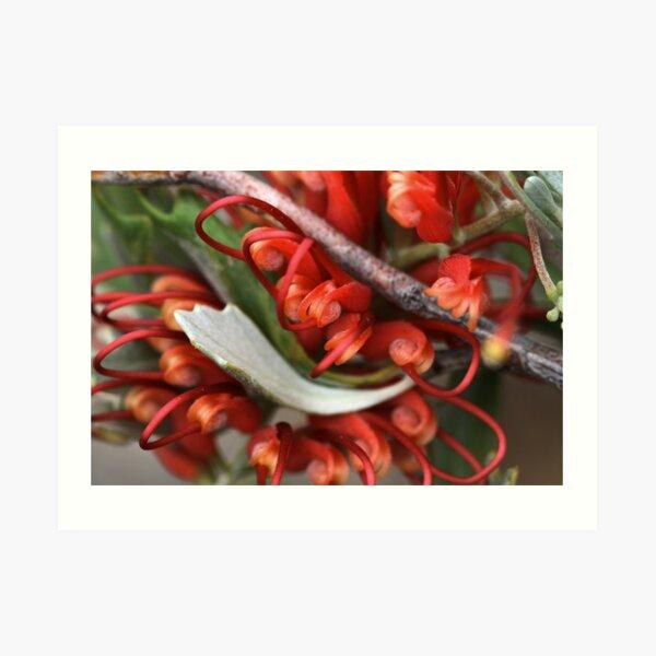Grevillea variifolia Art Print