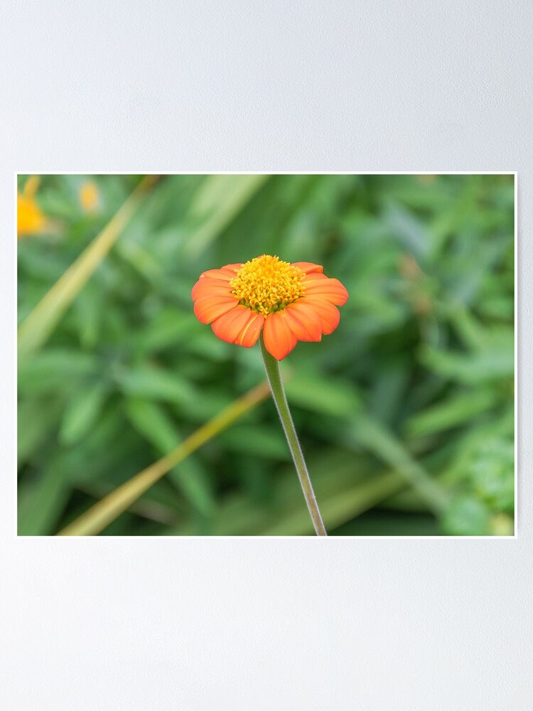 Alternate view of Orange daisy up close Poster