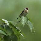Gold Finch on Green by Stevie Mancini
