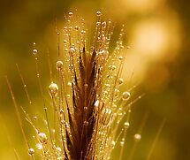 wheat of gold by Ingrid Beddoes