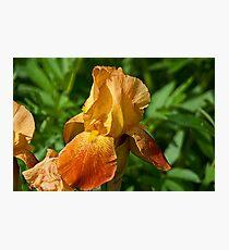 Golden Iris Photographic Print