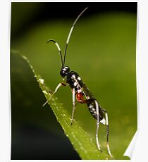 Black & White Striped Ichneumon Parasite Wasp Poster