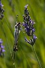 Scarce swallowtail butterfly by David Clarke