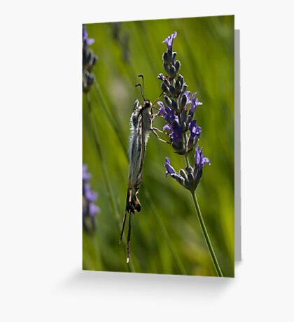 Scarce swallowtail butterfly Greeting Card