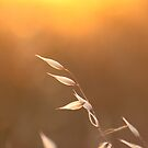 """""""Grass Seed at Sunset"""" by Sophie Lapsley"""
