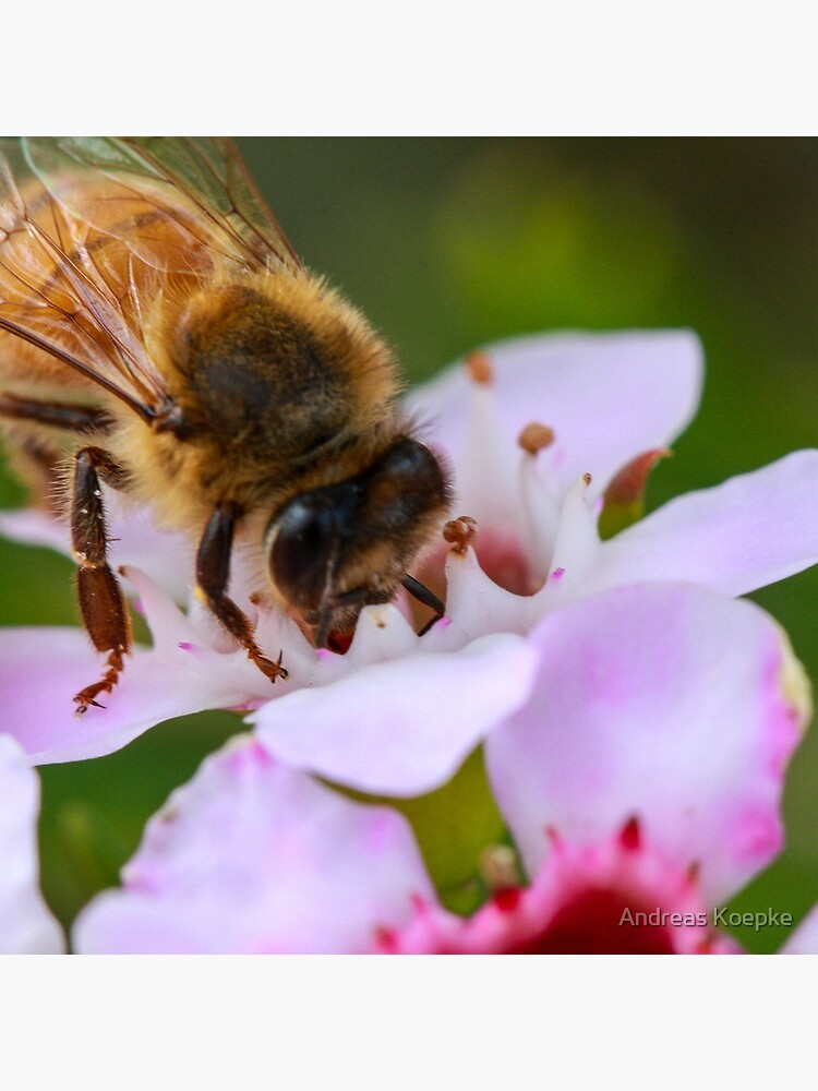 Bee on Geraldton Wax by mistered