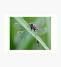 White-Faced Grasshugger Art Print
