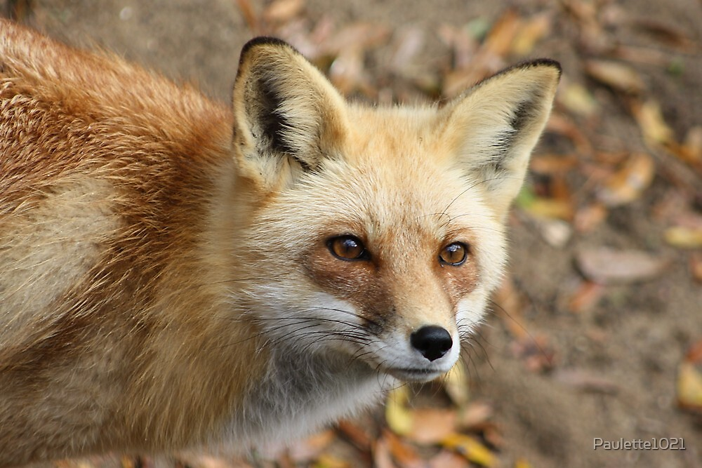 Sly as a Fox by Paulette1021