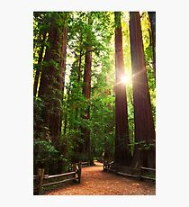 Redwood Forest Photographic Print
