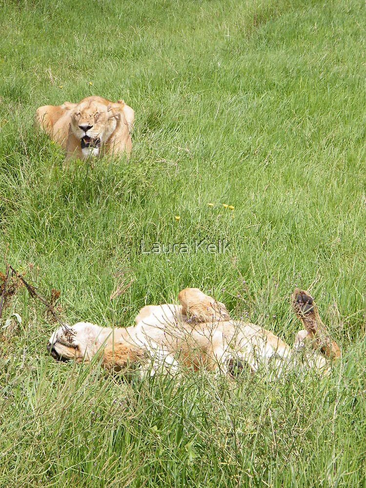 Lazy Lioness, Ngorogoro Crater, Tanzania. by Laura Kelk
