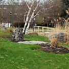 Birch tree 2 by JMR-ART
