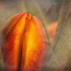 «Tulipán en ciernes en la niebla de la mañana» de Celeste Mookherjee