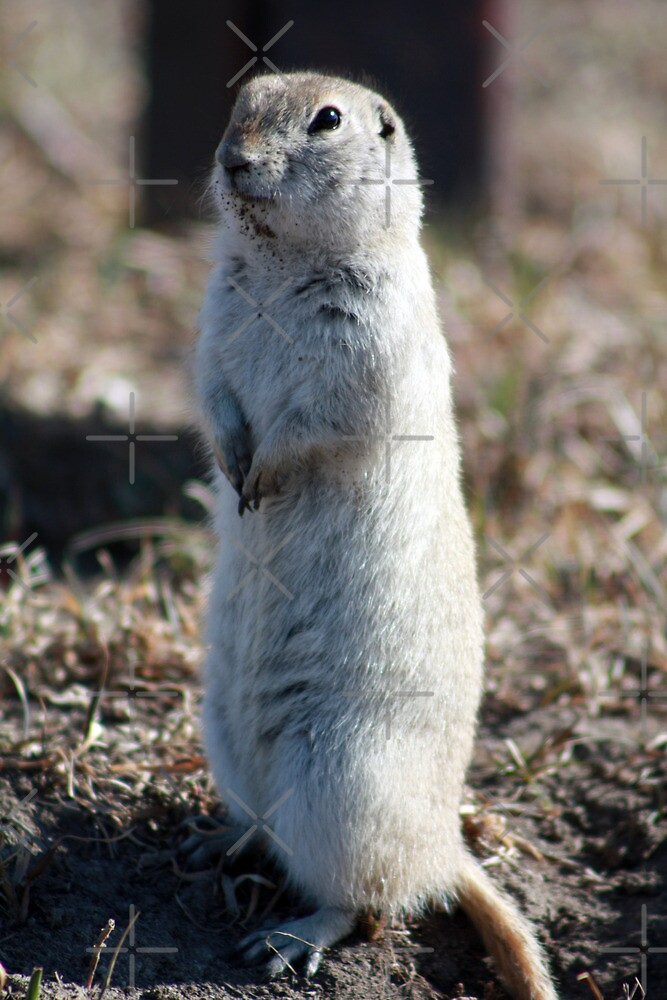 Black-Tailed Prairie Dog by Alyce Taylor