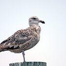 Juvenile Seagull by Karl R. Martin