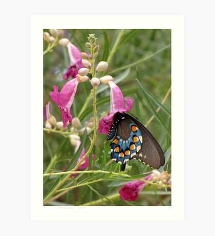 Butterfly ~ Pipevine Swallowtail Art Print