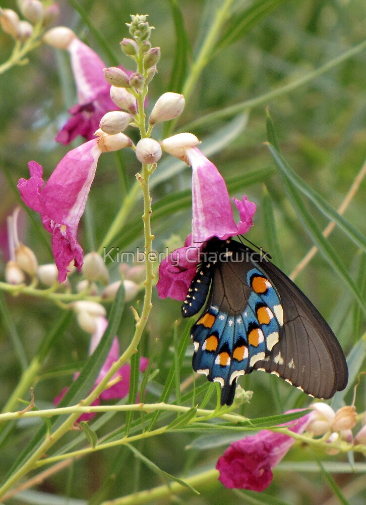 Butterfly ~ Pipevine Swallowtail by Kimberly Chadwick