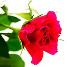 Red Rose For You by Paul Thompson Photography