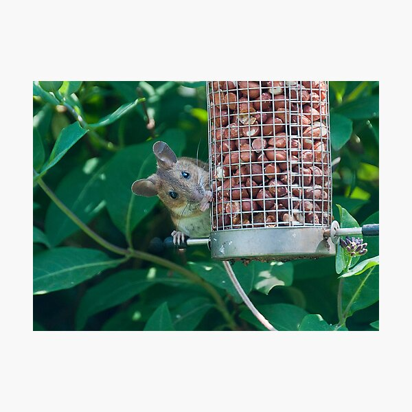 Nutty mouse Photographic Print