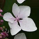 Hydrangea Single Flower by shane22
