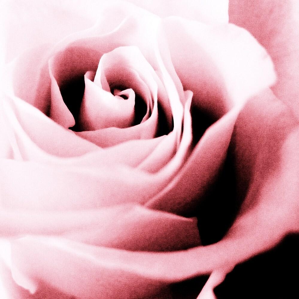 enchanted rose by enchantednature