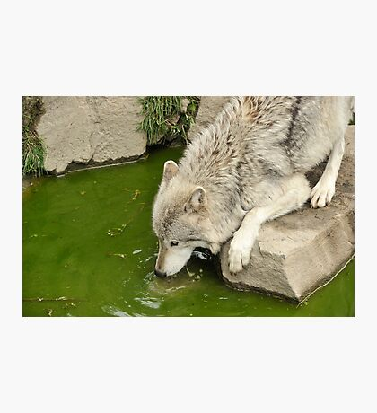 Thirsty Like  A Wolf  Photographic Print