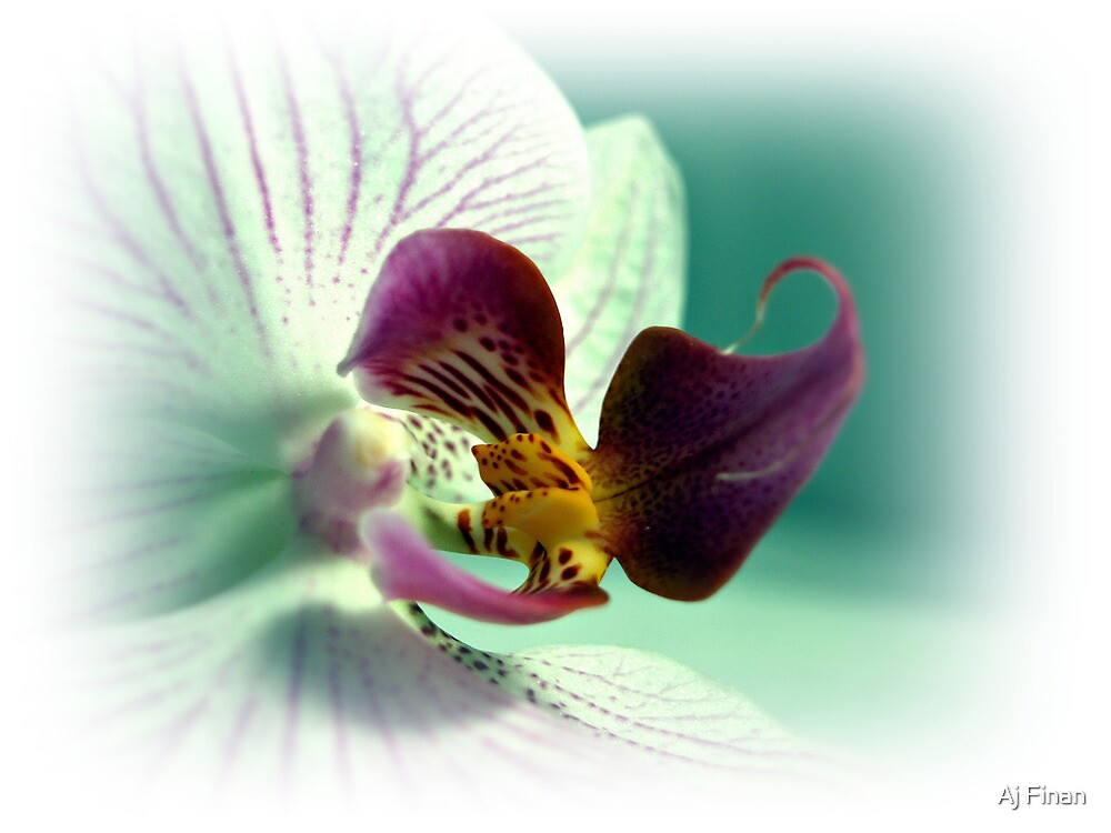 White And Pink Orchid (Phalaenopsis) by Aj Finan