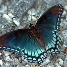 Red-Spotted Purple Butterfly by Kasey Lilly