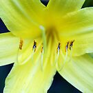 Pollen ready to leave - Yellow Lily by Sophie MacLeod