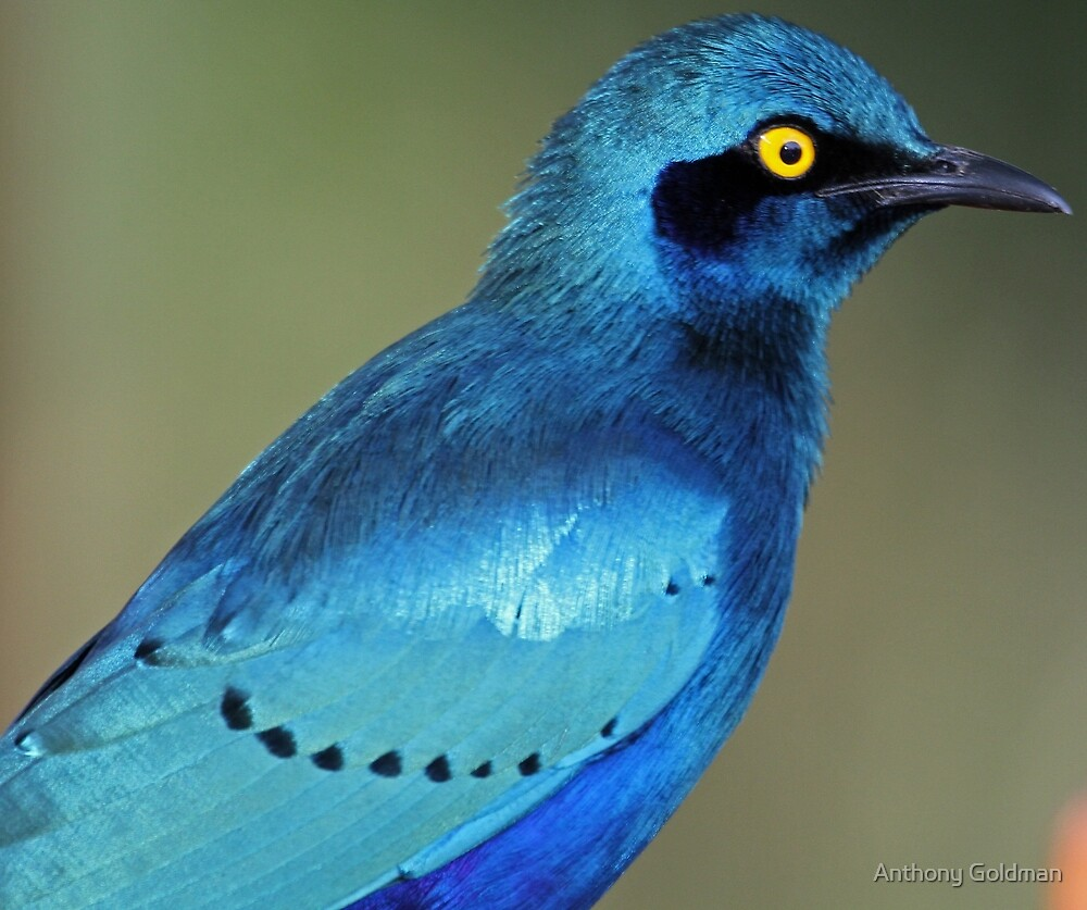 Greater Blue-eared Glossy Starling showing its colors by Anthony Goldman