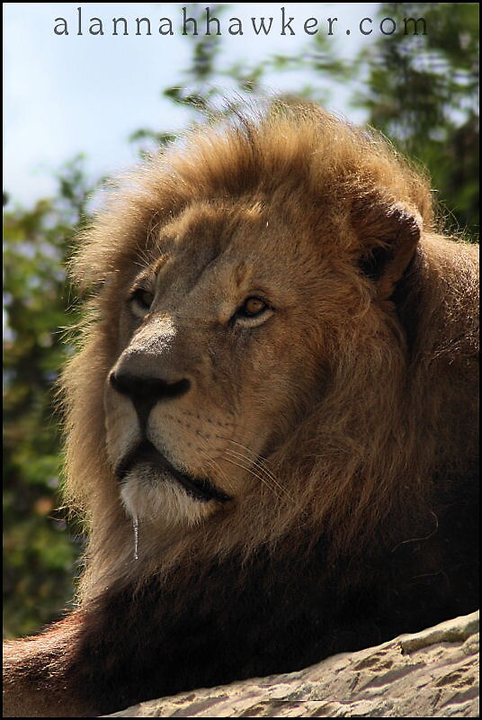 Lion 02 by Alannah Hawker
