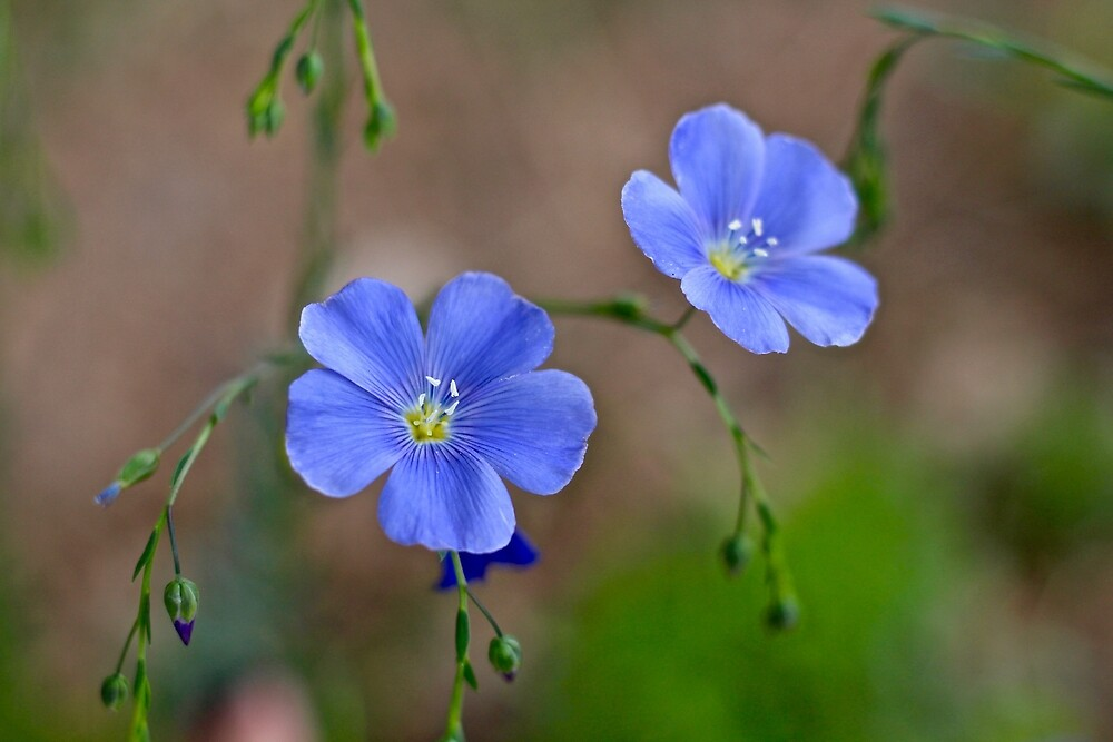 Flax Blossoms  by quantumnatura