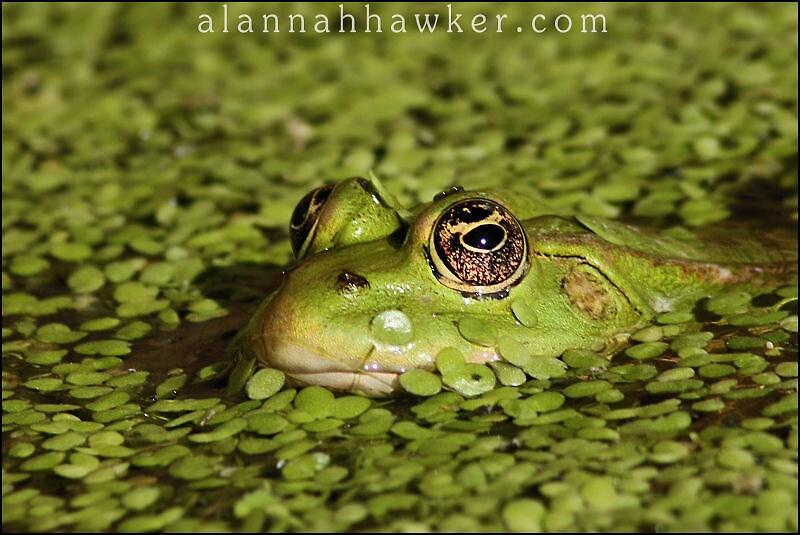 Frog 02 by Alannah Hawker