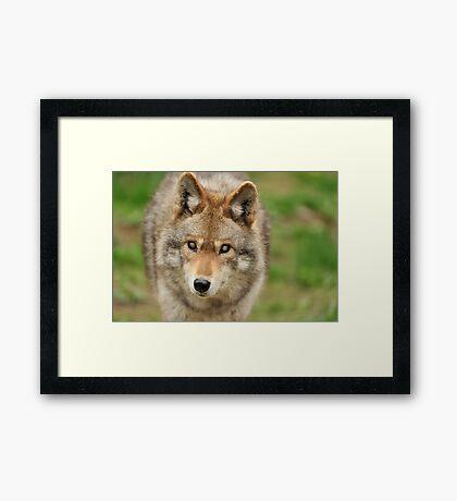 Smokey the Coyote Framed Print