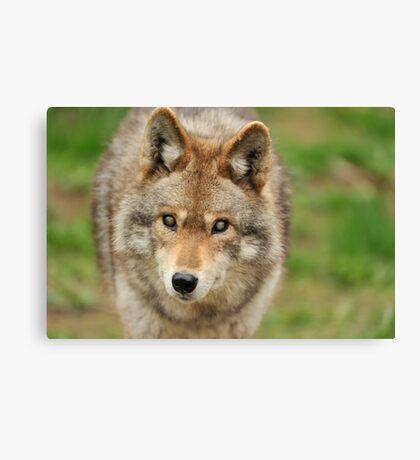 Smokey the Coyote Canvas Print