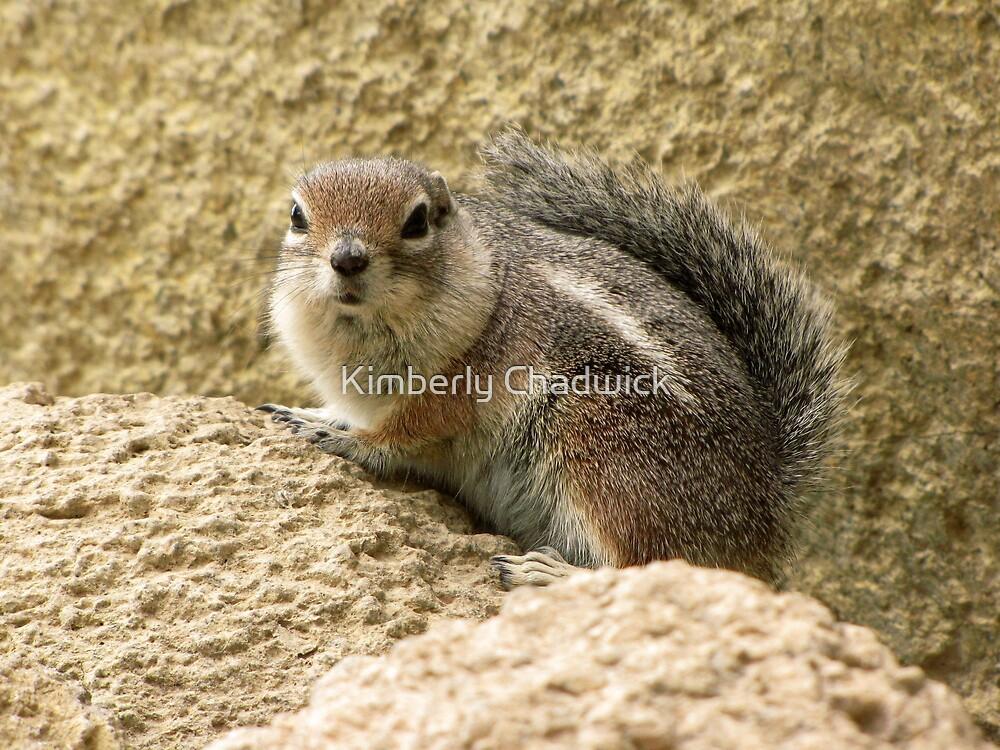 Harris' Antelope Squirrel by Kimberly Chadwick