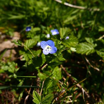 Common Field Speedwell (Veronica persica) by IOMWildFlowers