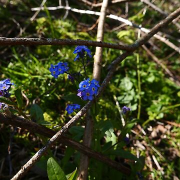 Wood Forget-me-not (Myosotis sylvatica) by IOMWildFlowers