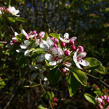 Crab Apple (Malus sylvestris) by IOMWildFlowers