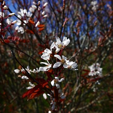 Juneberry (Amelanchier lamarckii) by IOMWildFlowers